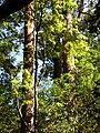 Starr 041113-0627 Grevillea robusta.jpg