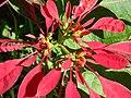 Starr 061223-2742 Euphorbia pulcherrima.jpg