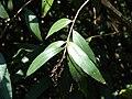 Starr 070328-6168 Syzygium jambos.jpg