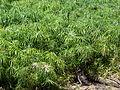 Starr 080610-8392 Cyperus involucratus.jpg