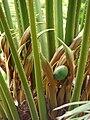 Starr 080716-9532 Cycas circinalis.jpg