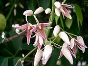 Stauntonia hexaphylla5.jpg