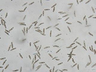 species of fungus