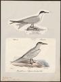 Sterna caspia - 1700-1880 - Print - Iconographia Zoologica - Special Collections University of Amsterdam - UBA01 IZ17900342.tif