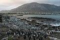 Stoney point penguins (2902995632).jpg