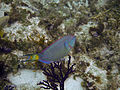 Stoplight Parrotfish.jpg
