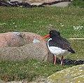 Strandskata Oystercatcher (14083340224).jpg