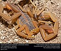 Striped Bark Scorpion (Buthidae, Centruroides vittatus) (26294838801).jpg