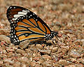 Striped Tiger (Danaus genutia) in Kawal, AP W IMG 1804.jpg