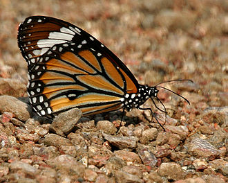 Danaus genutia - Mud-puddling in Kawal Wildlife Sanctuary, India.