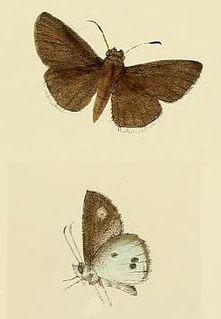 <i>Suastus minuta</i> species of insect