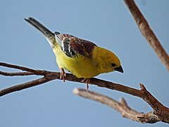 Sudan Golden Sparrow RWD3.jpg
