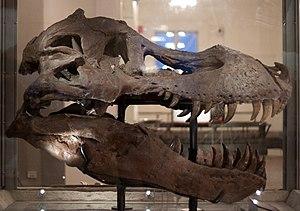 Sue (dinosaur) - Sue's skull