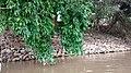 Sukhna Lake Tree and bank.jpg