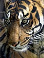 Sumatran-tiger-new.jpg