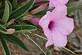 Summer Impala Lily (Adenium swazicum) (16801775203).jpg