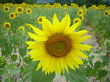 Sunflower Ardeche.JPG