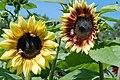 Sunflower bicolor variability (3922014229).jpg