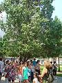 Survivor Tree at the National September 11 Memorial.jpg