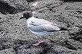 Swallow-tailed Gull (47808105881).jpg