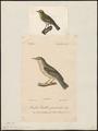 Sylvia trochilus - 1700-1880 - Print - Iconographia Zoologica - Special Collections University of Amsterdam - UBA01 IZ16200187.tif