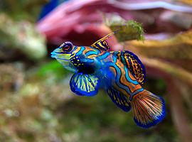 Mandarijn vis