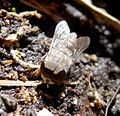 Tabanidae. Biting Fly. Possibly Stonemyia fera - Flickr - gailhampshire.jpg