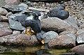 Tachyeres pteneres (Fuegian Steamer Duck - Magellan-Dampfschiffente) - Weltvogelpark Walsrode 2012-07.jpg