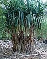 Tahitian screwpine - Pandanus Jalvitensis (3595942919).jpg