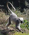 Tail carriage by Hanuman langur of Himalayas.JPG