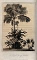 Talipot palms (Corypha umbraculifera) growing beside and on Wellcome V0043218.jpg