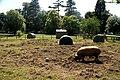 Tamworth Pig in Camperdown Zoo - geograph.org.uk - 902120.jpg