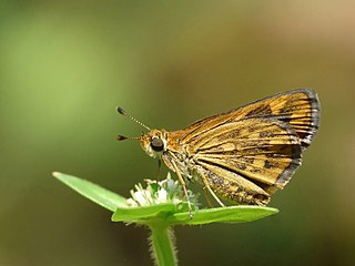 <i>Taractrocera ceramas</i> species of insect