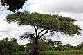 Tarangire 2012 05 27 2028 (7468495750).jpg