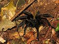 Tarantula - Flickr - treegrow.jpg