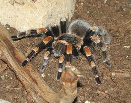 Kırmızı bacaklı meksika tarantulası brachypelma smithi