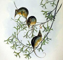 Tarsipes rostratus - Gould.jpg
