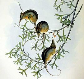 Gould lithograph of a group of Noolbengers, or Honey Possums, perched in a tree