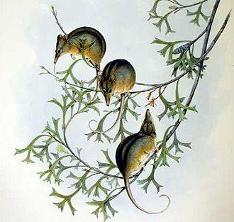 Honey possum - Image: Tarsipes rostratus Gould