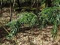 Taxus baccata 121672613.jpg