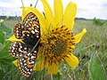 Taylors checkerspot butterfly (candidate for endangered species listing) (5871668730).jpg