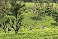 Tee pflücken Sri Lanka (29446728903).jpg