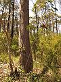 Telopea speciosissima (15570103678).jpg