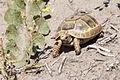 Testudo graeca - Mediterranean Spur-thighed Tortoise 01.jpg