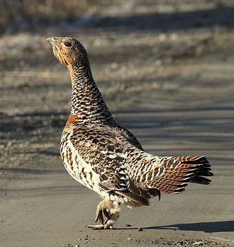Western capercaillie - Female (hen)
