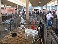 Texas State Fair goats.jpg