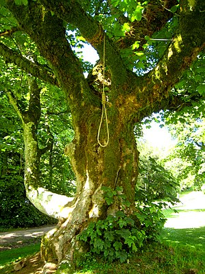 Dule tree - The Gallows tree, known as the Dule Tree, at Leith Hall - geograph.org.uk - 489962