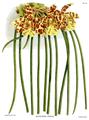 The Orchid Album-02-0024-0055-Scuticaria steelii.png