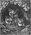 The Three Smart Little Foxes — Three Smart Little Foxes — St. Nicholas.jpg