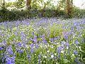 The bluebells of bluebell hill.jpg